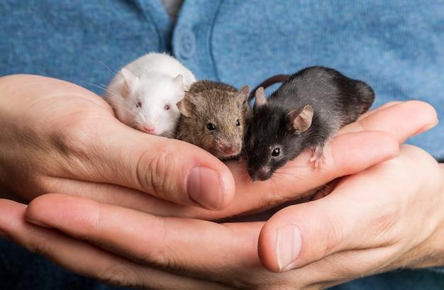 Ratos fofos em mãos humanas