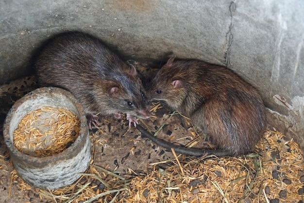 Ratos foram criados na fazenda