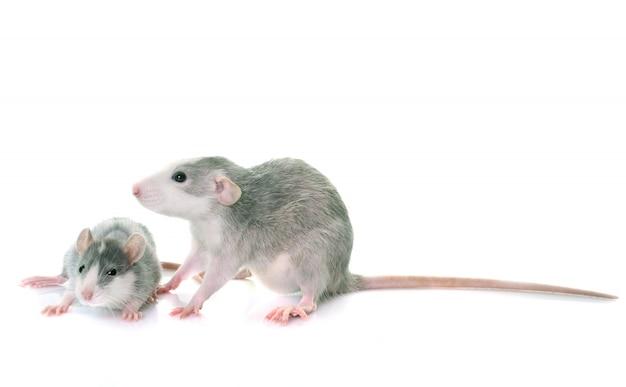 Ratos jovens bicolor
