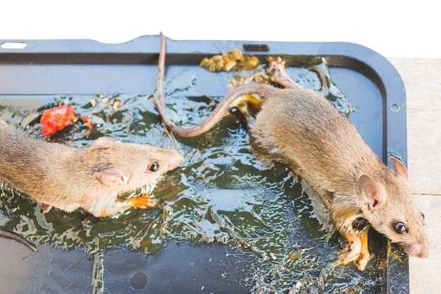 Ratos moribundos grudam na armadilha da cola