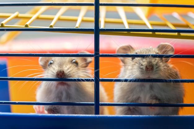 Ratos pequenos de hamster jungar cinza na gaiola amarela