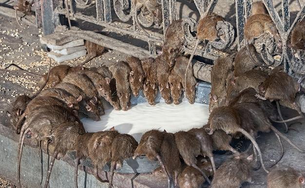 Ratos vermelhos bebem leite no templo indiano de shri karni