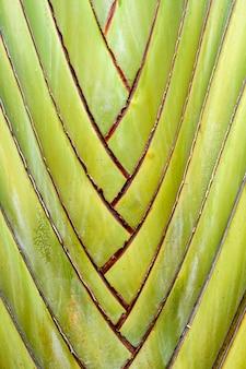 Ravenala madagascariensis, palma do viajante, bela árvore do viajante com fundo de textura de forma natural