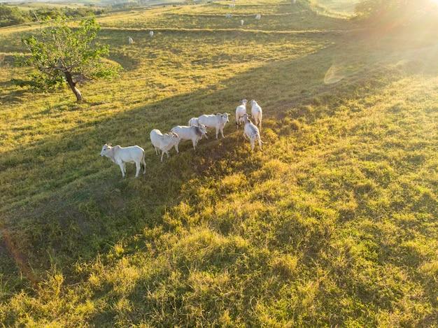 Rebanho de bois em pastagem no brasil ao pôr do sol.