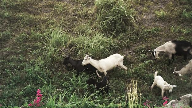 Rebanho de cabra na montanha