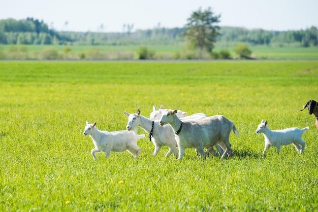Rebanho de cabras brancas em um prado verdejante no verão