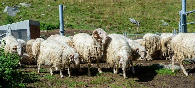 Rebanho de cabras nas montanhas