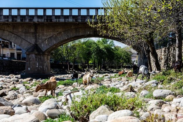 Rebanho de cabras pastando ao longo da margem do rio em navaconcejo
