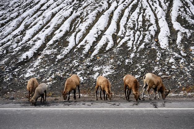 Rebanho de cabras pastar na estrada lateral com montanha de neve