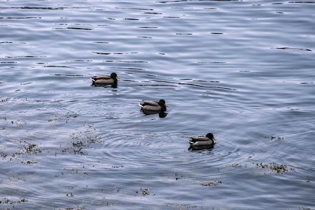 Rebanho de dabbling pato ordenadamente flutuando no litoral