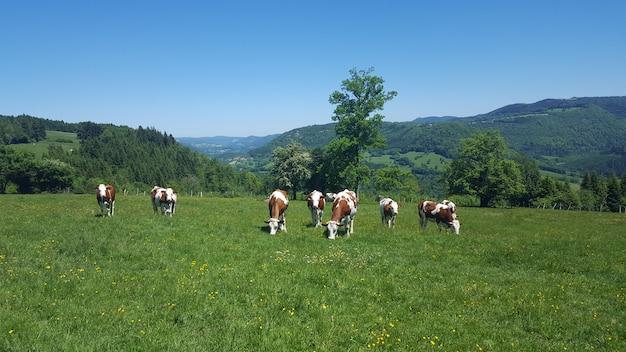 Rebanho de gado holstein friesian pastando na fazenda de gado exuberante em wetlands holanda