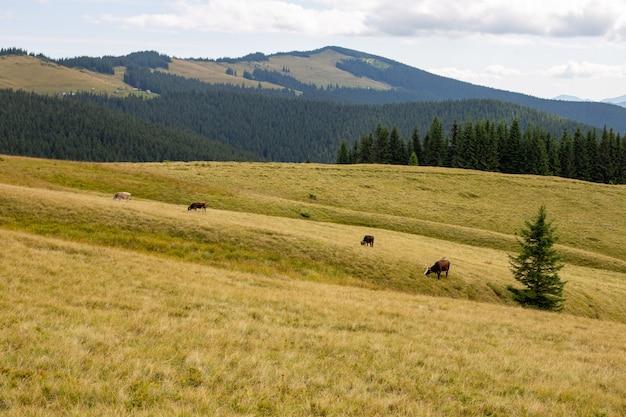 Rebanho de gado pastando em um prado em uma colina