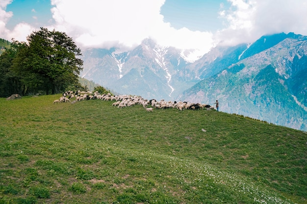 Rebanho de gado pastando nos campos verdes