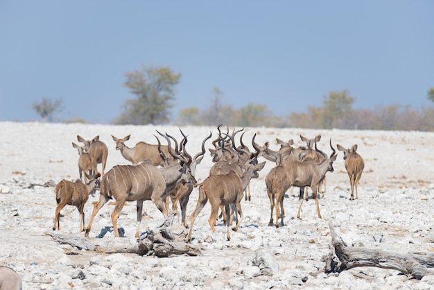 Rebanho de kudu andando no deserto da namíbia. safari da vida selvagem no parque nacional etosha, destino de viagem majestosa na namíbia, áfrica.