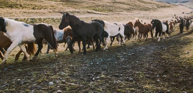 Rebanho de lindos cavalos islandeses cavalgando em direção à reunião na fazenda
