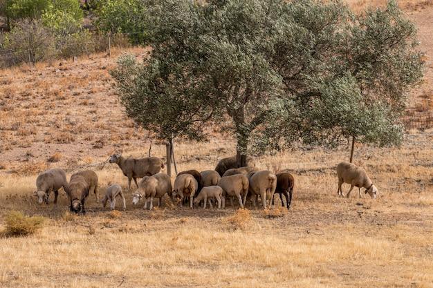 Rebanho de ovelhas à sombra