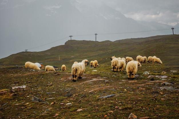 Rebanho de ovelhas brancas em um prado nas montanhas suíças suíça zermatt vista da fazenda com neblina
