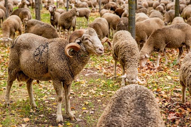 Rebanho de ovelhas comendo grama