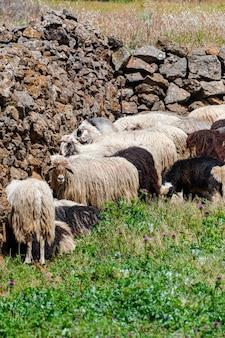 Rebanho de ovelhas das canárias, no campo de grama verde