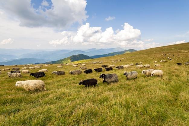 Rebanho de ovelhas de fazenda pastando no pasto verde da montanha.