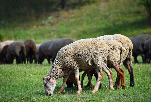 Rebanho de ovelhas em pastoreio