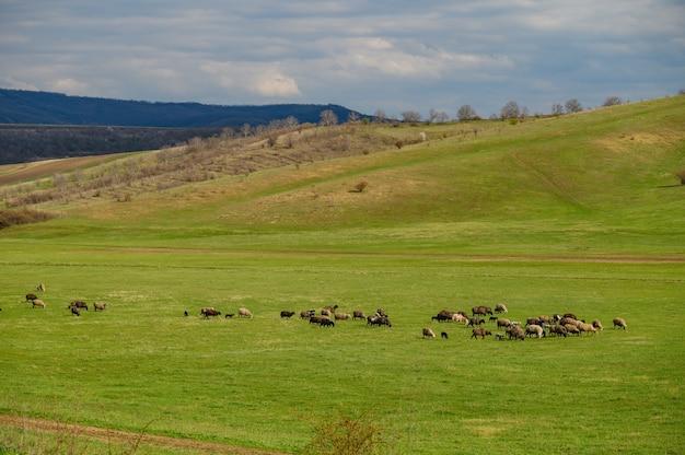 Rebanho de ovelhas em um prado entre colinas verdes