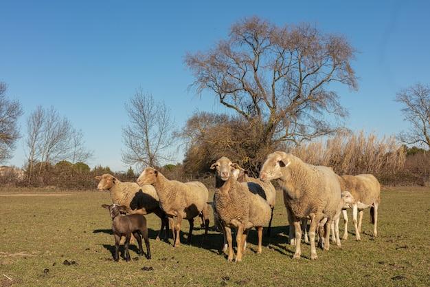 Rebanho de ovelhas em um prado no campo