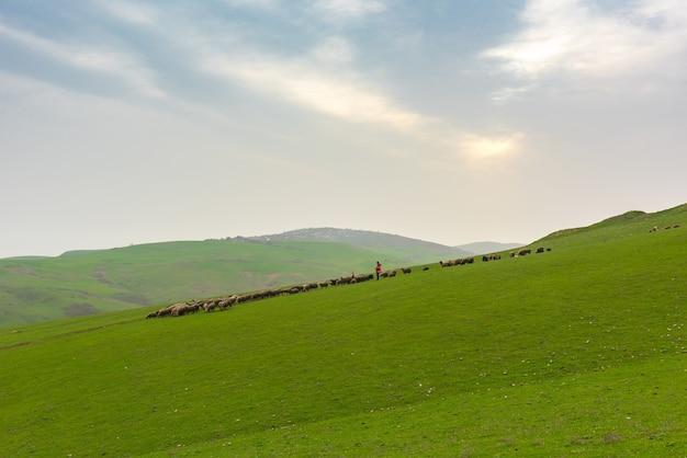 Rebanho de ovelhas em uma colina verde