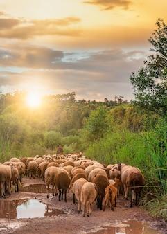 Rebanho de ovelhas indo para o pasto ao pôr do sol com o pastor à frente em portugal