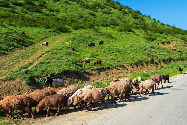 Rebanho de ovelhas na estrada