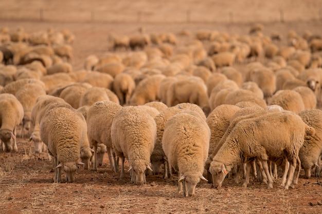 Rebanho de ovelhas na natureza