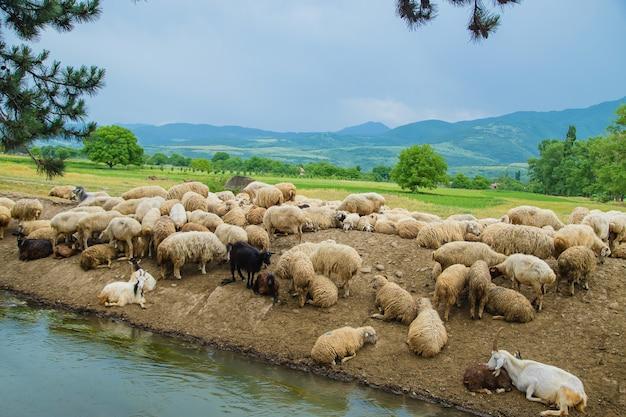 Rebanho de ovelhas nas montanhas. viajar na geórgia.
