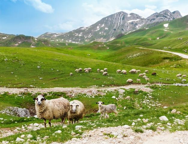 Rebanho de ovelhas nas montanhas