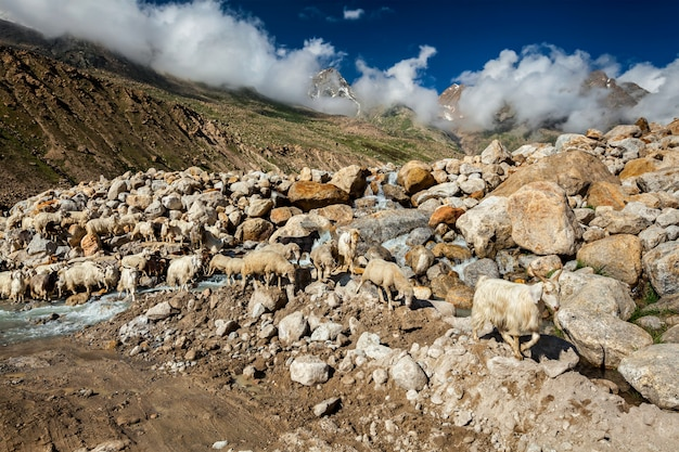 Rebanho de ovelhas pashmina no himalaia