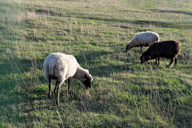 Rebanho de ovelhas pastando em campos agrícolas ao pôr do sol verde pasto com ovelhas no campo