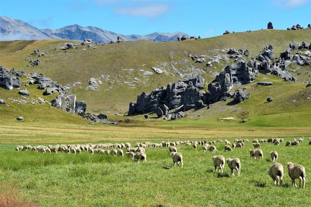 Rebanho de ovelhas pastando nas montanhas