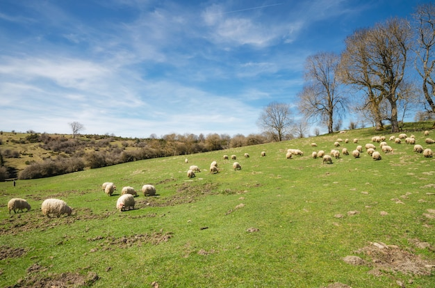 Rebanho de ovelhas pastando no prado de montanha