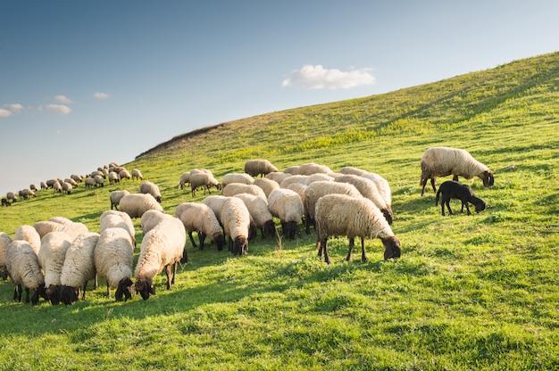 Rebanho de ovelhas pastando