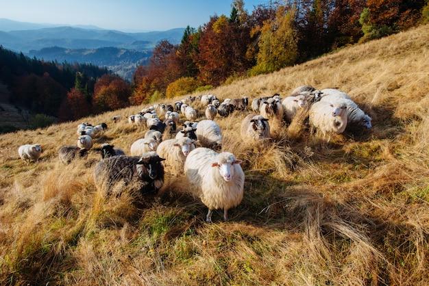Rebanho de ovelhas