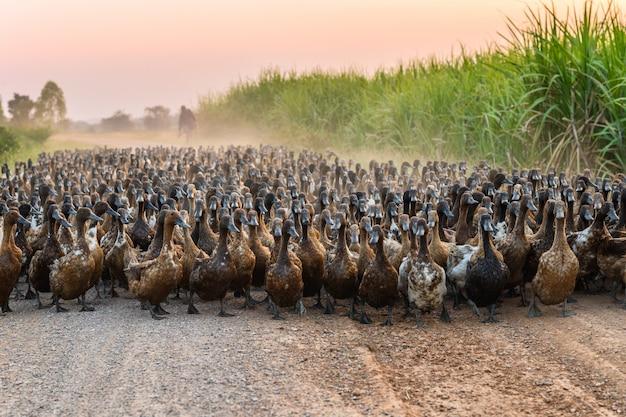 Rebanho, de, patos, com, agricultor, herding, ligado, estrada sujeira