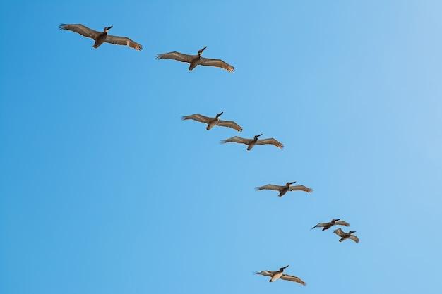 Rebanho de pelicanos voando sobre o céu azul