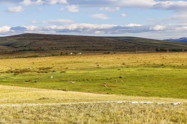 Rebanho de vaca no campo de gras