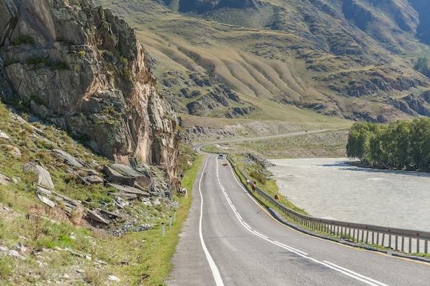 Rebanho de vacas bloqueando uma estrada em altaj