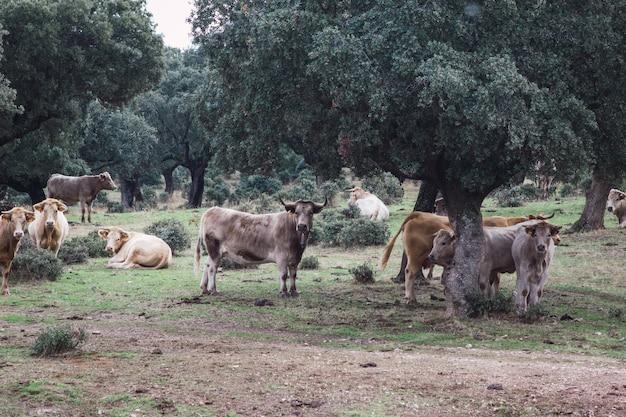 Rebanho de vacas e bezerros no campo. conceito de criação de animais de fazenda em liberdade.