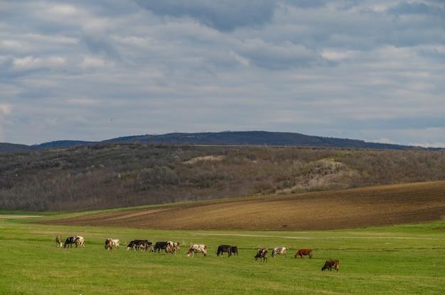 Rebanho de vacas em um prado entre colinas verdes