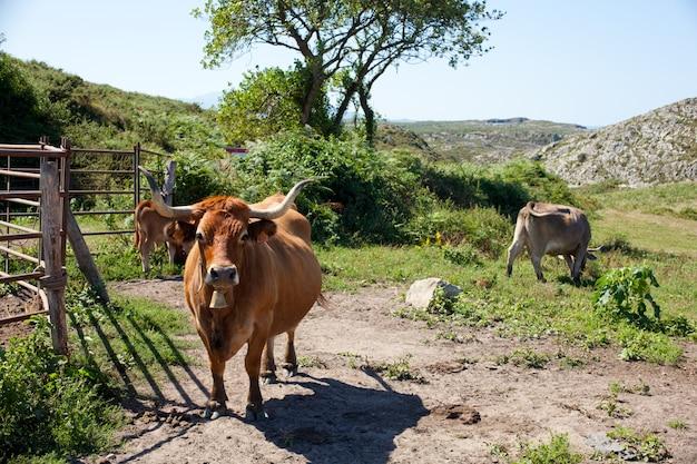 Rebanho de vacas pastando na grama