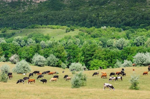 Rebanho de vacas pastando no prado