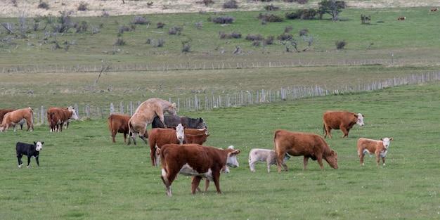 Rebanho, de, vacas, pastar, em, um, campo, patagonia, chile