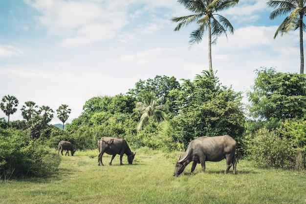 Rebanho dos búfalos no campo de grama do prado. búfalos comendo grama entre a natureza