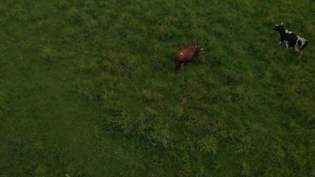 Rebanho touro vacas belo gado gado grande estoque comer grama verde em pasto de estepe prado